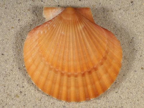 Aequipecten opercularis UK 5,7cm *Unikat*