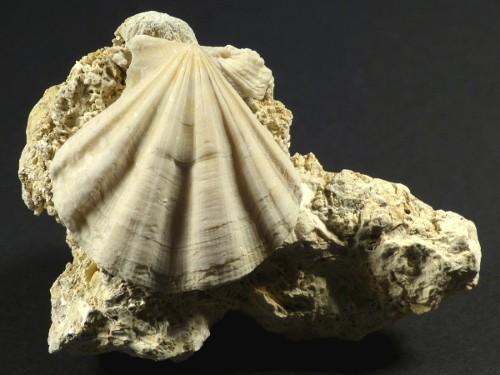 Flexopecten flexuosus Pliozän ES 3,1cm