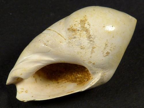 Amalda glandiformis Miozän FR 2,5cm *Unikat*