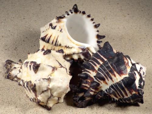 Hexaplex nigritus MX 7,5+cm