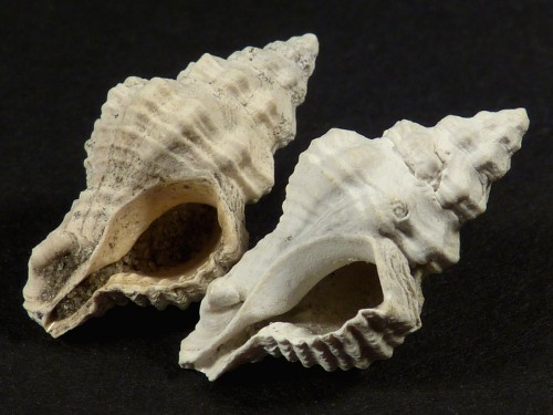 Calotrophon ostrearum Pliozän US 2,4cm