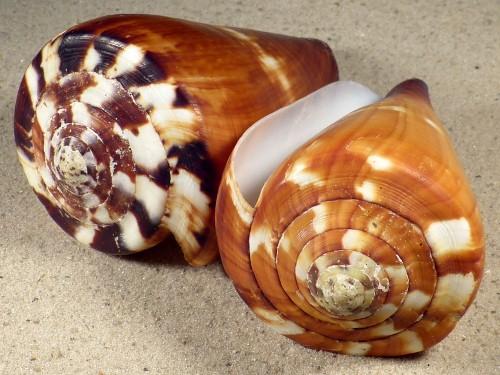 Conus vexillum PH 10+cm