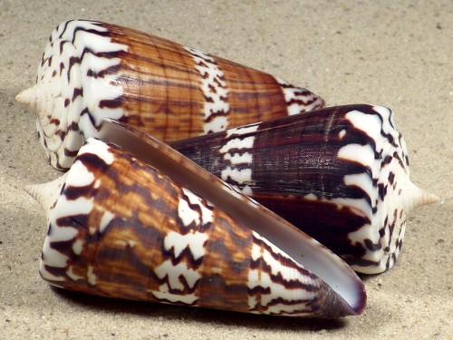 Conus generalis PH 6+cm