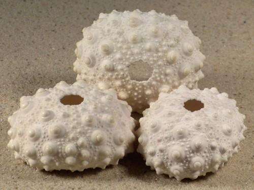 Heterocentrotus mamillatus PH 4,7+cm