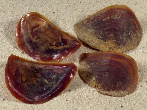 Rapana rapiformis Operculum PH 3+cm
