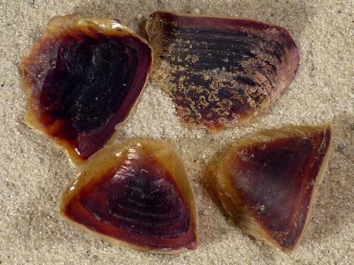 Rapana venosa Operculum TR 1,6+cm