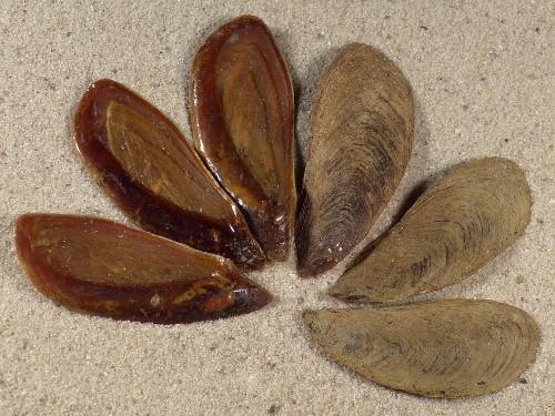 Volegalea cochlidium operculum PH 3+cm
