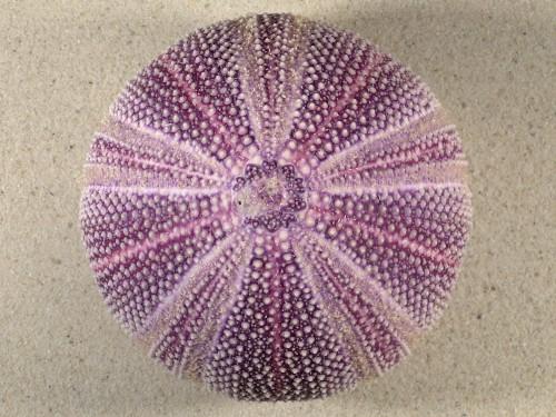 Echinus esculentus 11,4cm *Unikat*