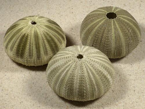 Salmacis sphaeroides PH 5+cm ~ Sonderpreis