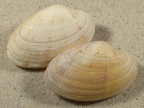 Polititapes rhomboides DK 5,7cm