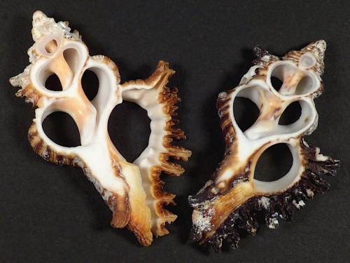 Chicoreus brunneus Gehäuseschnitt