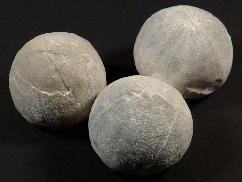 Galerites vulgaris Kreide DE 2,8+cm