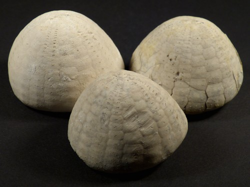 Echinocorys sulcata Paläozän DK 4,5+cm