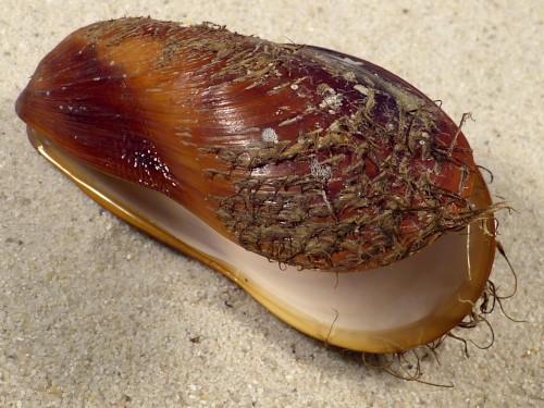 Modiolus modiolus juvenile DK-North Sea 7,8cm *unique*