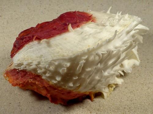 Spondylus varius PH 12cm *Unikat*