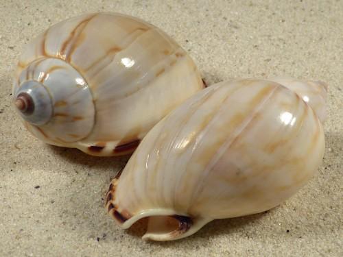 Casmaria turgida PH 6+cm
