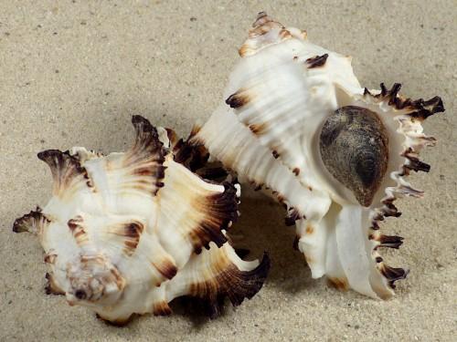 Hexaplex cichoreum depressospinosus m/O PH 6+cm