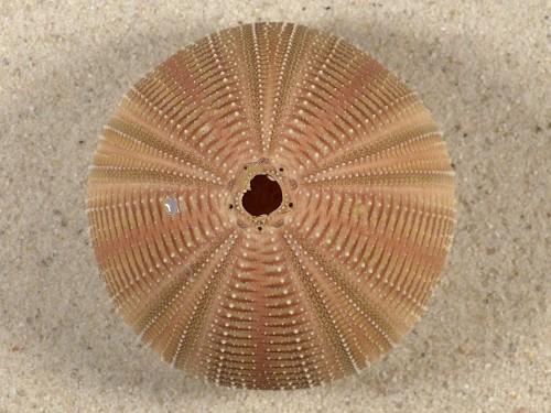 Salmacis bicolor PH 6,3cm *Unikat*