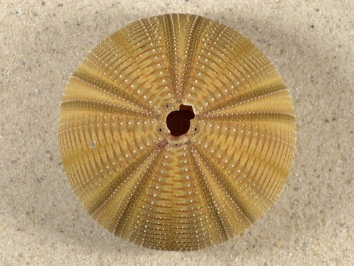 Salmacis bicolor PH 7cm *Unikat*