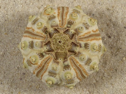 Stylocidaris spec. PH 3,2cm *Unikat*