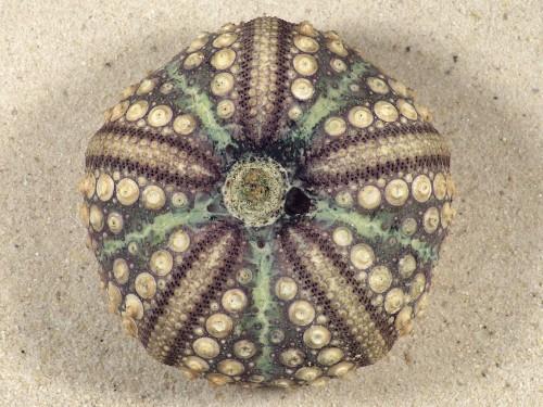 Echinothrix calamaris PH 6,8cm *Unikat*