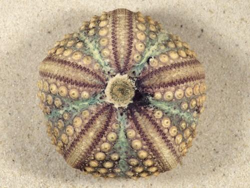 Echinothrix calamaris PH 7cm *Unikat*