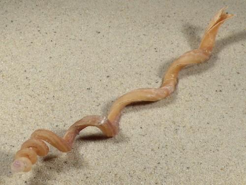 Tenagodus anguinus PH 18,6cm *Unikat*
