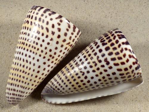 Conus litteratus PH 10+cm