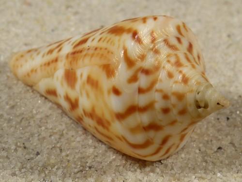 Conus delessertii US 4,4cm *Unikat*