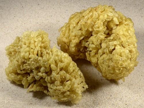 Eiballen von Buccinum undatum DE 10+cm