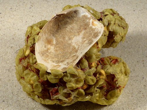 Eiballen von Buccinum undatum auf Mya truncata DE 10,5cm