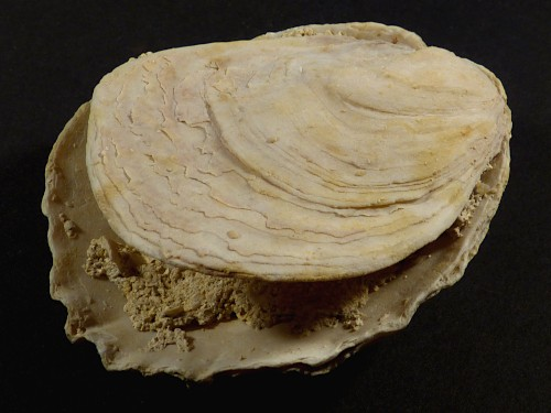 Ostrea edulis Pliozän ES 8,4cm *Unikat*