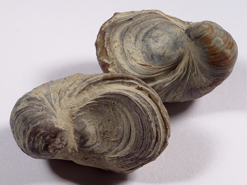 Gryphaea arcuata Jura UK 4,6+cm