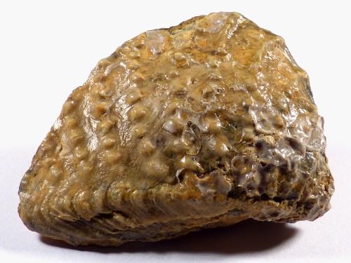 Myophorella irregularis Jurassic DE 8cm *unique*