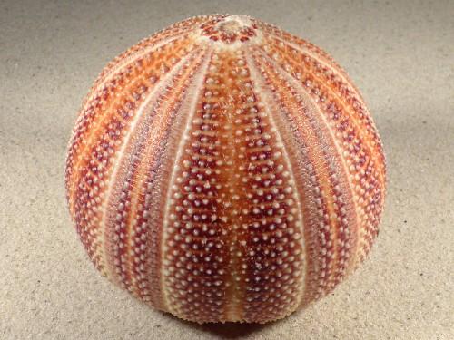 Echinus esculentus UK 11,4cm *unique*