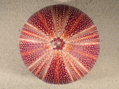 Echinus esculentus UK 11,3cm *Unikat*