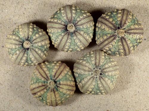 Echinothrix calamaris PH 4+cm