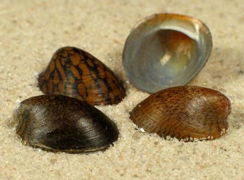 Septaria porcellana 1+cm