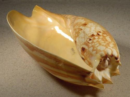 Melo umbilicatus ID 23cm *Unikat*