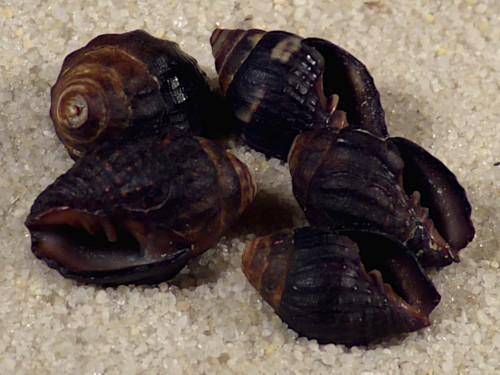 Vexillum pisolinum *schwarz* PH 1+cm