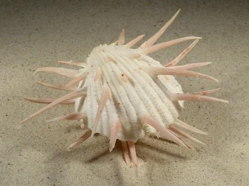 Spondylus imperialis PH 13,5cm *Unikat*