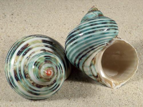 Turbo argyrostomus poliert 6+cm