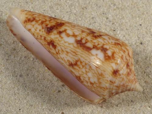 Conus neptunus PH 5,6cm *Unikat*