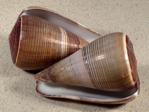 Conus figulinus 8+cm