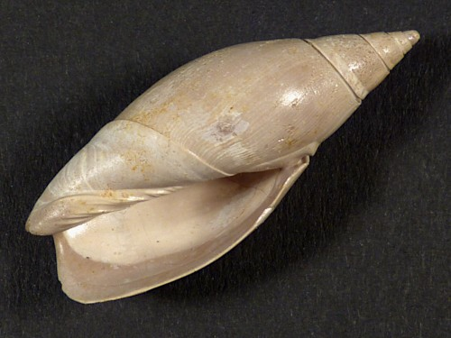 Agaronia alabamensis Eozän US 3,9cm *Unikat*