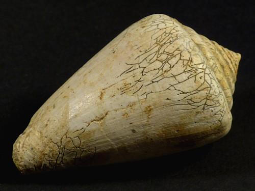 Conus betulinoides Pliozän IT 6,5cm *Unikat*