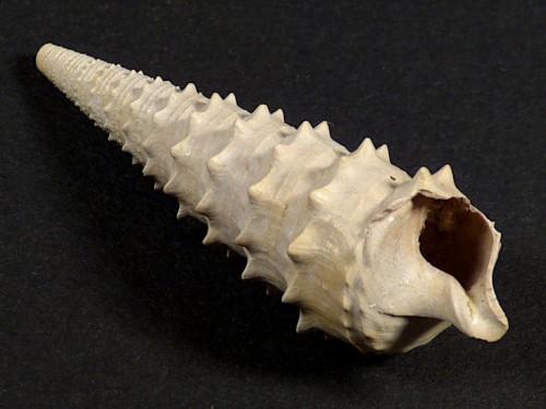 Serratocerithium serratum Eozän FR 5,3cm *Unikat*