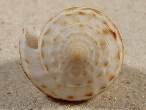 Conus rolani PH 4,7cm *Unikat*
