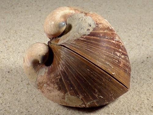 Glossus humanus HR 7,8cm *unique*