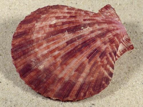 Mimachlamys sanguinea PH 7,5cm *Unikat*
